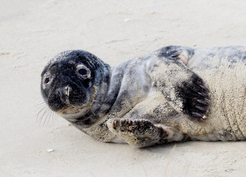 Wychudzone szczenię foki uratowane przez straż graniczną.