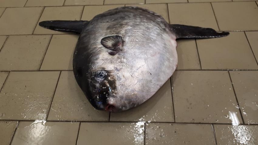 Samogłów w sieci rybackiej. Sensacja na Mierzei Wiślanej.